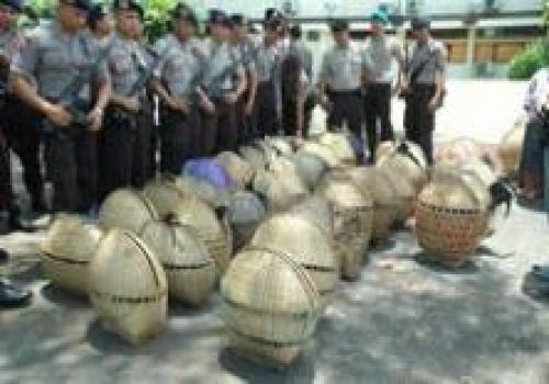 Penangkapan Judi Tajen di Polres Bangli Polda Bali